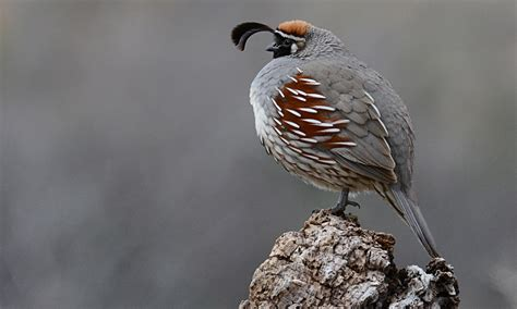 gambel s quail introduction neotropical birds online