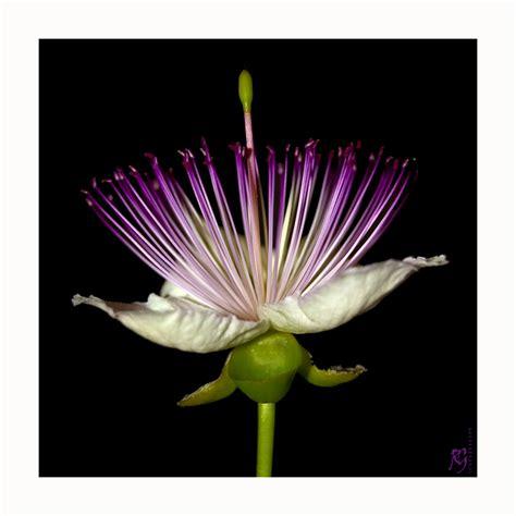 fiore di cappero fiore di cappero 2 foto immagini macro e up