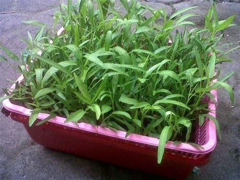membuat hidroponik untuk pemula cara menanam kangkung hidroponik hidrafarm