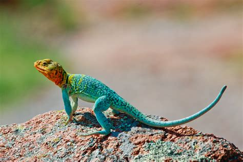 colorful lizards wallpapers gallery