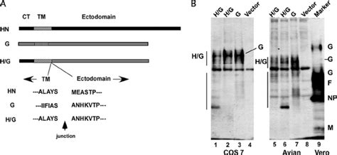 g protein rsv construction and expression of ndv hn rsv g protein