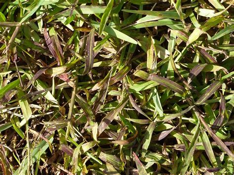 killing crabgrass with baking soda top 25 ideas about lawn and garden etc on