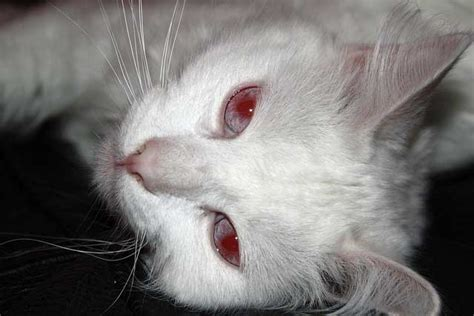 what color do albinos cat eye color