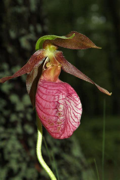 slipper flower massachusetts photo 344 08 a pink ladyslipper flower in massasoit state