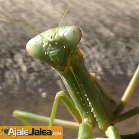 imagenes de insectos verdes 191 qu 233 me ves quot dijo este insecto raro taringa