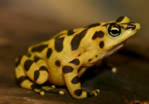 Golden Frog Panamanian Golden Frog Hibian Rescue And Conservation