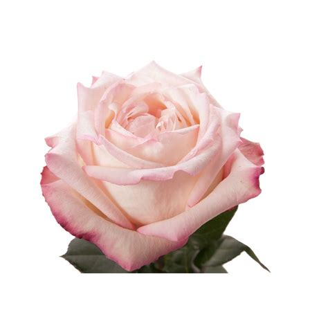 Light Pink Roshes by Light Pink Garden Joyce Pink Roses Flower Muse