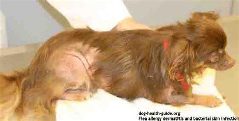 flea dermatitis dogs flea allergy pictures symptoms and treatment