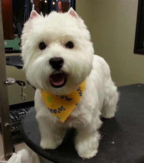 short westie cut google search animals pinterest pin westie haircuts on pinterest westie grooming pinterest