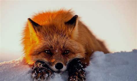 fotos animales zorros que comen los zorros que comen los animales