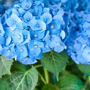 hortensie endless summer standort 2338 hortensien hydrangea pflanzen und pflege