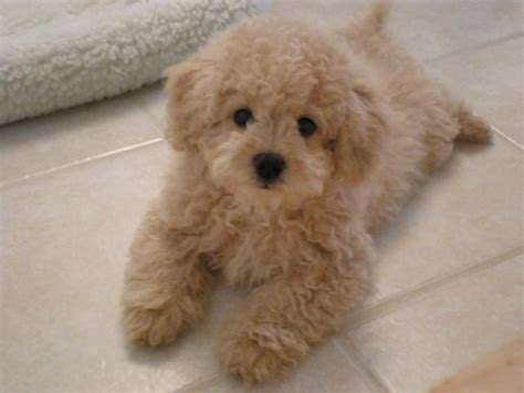 what are teddy dogs lhasa poo teddy dogs