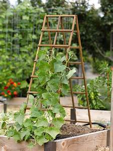 A Frame Trellis trellising advice in home grown at farmers market