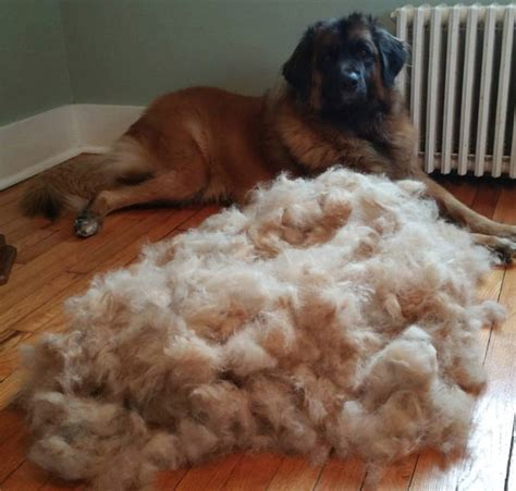 Do Leonbergers Shed 9 reasons why leonbergers are totally unforgettable