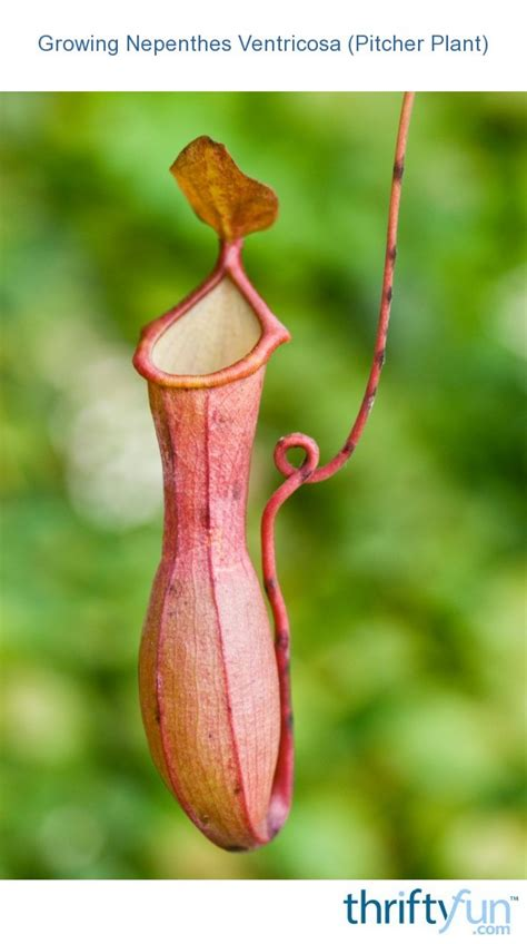 growing nepenthes ventricosa pitcher plant thriftyfun