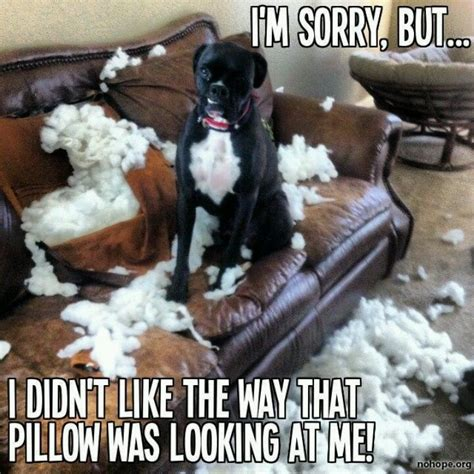 Funny Boxer Dog Memes - the pillow lost the fight things to make you laugh