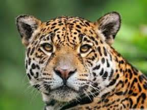Jaguar Facts 10 Interesting Jaguar Facts My Interesting Facts