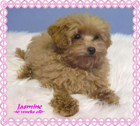 cinnamon maltipoo puppies for sale 83 apricot maltipoo grown for sale do you think this is happy check out