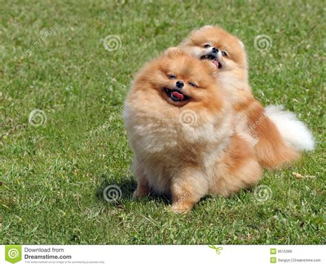 pomeranian free two pomeranian dogs royalty free stock images image 9515389