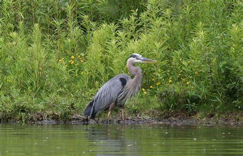File Great Blue Heron Wading Jpg Wikimedia Commons Blue Heron Nh 2