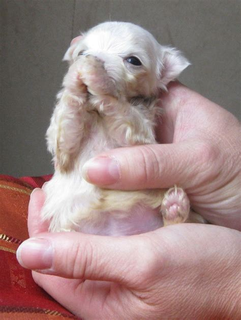 teacup maltese puppies 1000 ideas about teacup maltese puppies on teacup maltese puppies