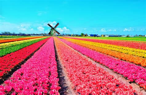 tulip fields in spring the dutch countryside becomes a rainbow of