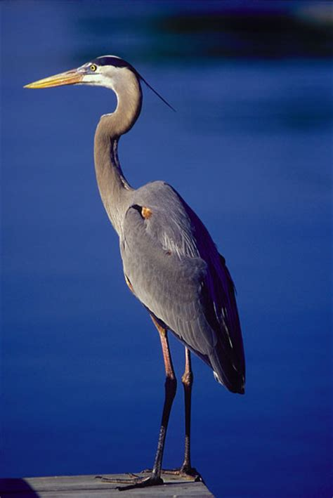 heron meaning a light in the darkness heron symbolism