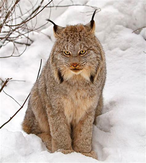 imagenes de animales wikipedia animales curiosos animales raros animales salvajes