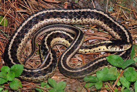 Garter Snake Oklahoma Common Gartersnake Thamnophis Sirtalis