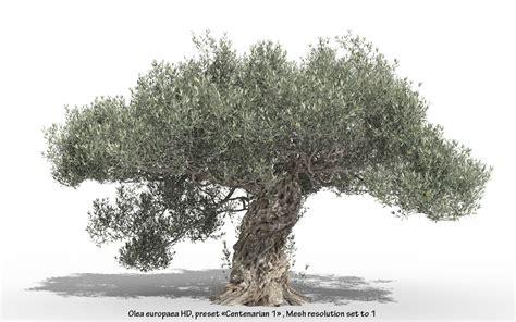 olive tree olea europaea olive tree hd