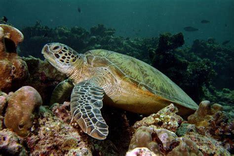 lade tartaruga escola de naturalistes tortugues marines