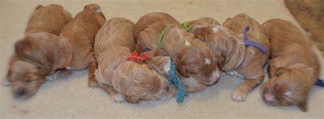 briar ridge puppies nursery briar ridge puppies