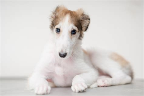 puppys pictures borzoi info mixes temperament puppies pictures