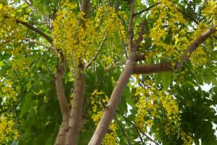 Chandelier Blog Cassia Fistula Golden Chandelier Tree My Garden This