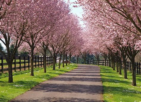 mr d cherry tree pa a driveway lined with cherry trees is my equivalent of views a few magnolias thrown in