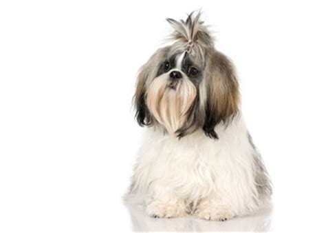 shih tzu information and facts shih tzu breed information facts lifespan