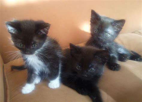 gratis kittens aangeboden gratis kittens aangeboden newhairstylesformen2014 com