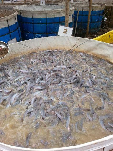 Pakan Ikan Lele Yang Masih Kecil sistem bioflok untuk budidaya ikan lele dan cara penerapannya