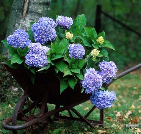 Hydrangea Macrophylla Endless Summer 4457 by Morrisons Home And Garden Agway Field Notes Endless