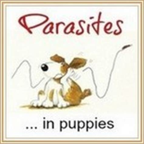 coccidia in puppies home treatment coccidiosis in dogs coccidia symptoms treatment prevention