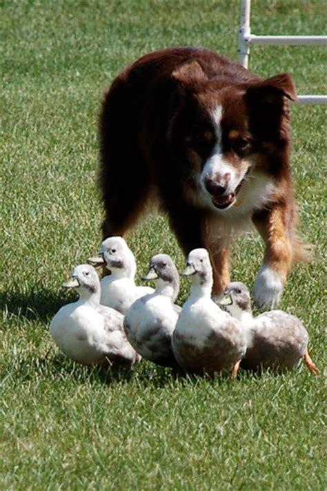 herding dogs the wisconsin highland herding dogs