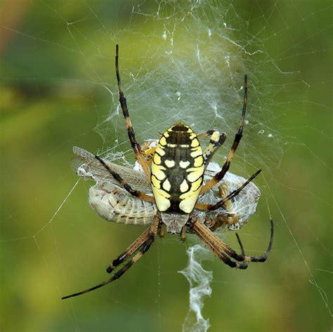 Golden Garden Spider by Yellow Garden Spider With Grashopper Prey I M Not A Big