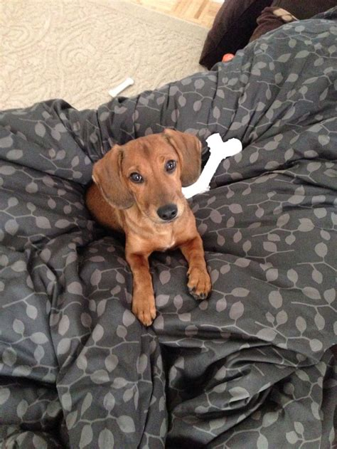 1000 images about mix of old and new on pinterest 1000 images about dachshund beagle mix jack s board on
