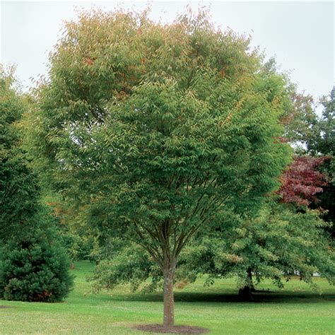 Zelkova Green Vase Tree by Our Range The Widest Range Of Tools Lighting Gardening Products