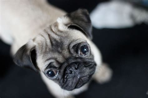 playful pugs puppy images
