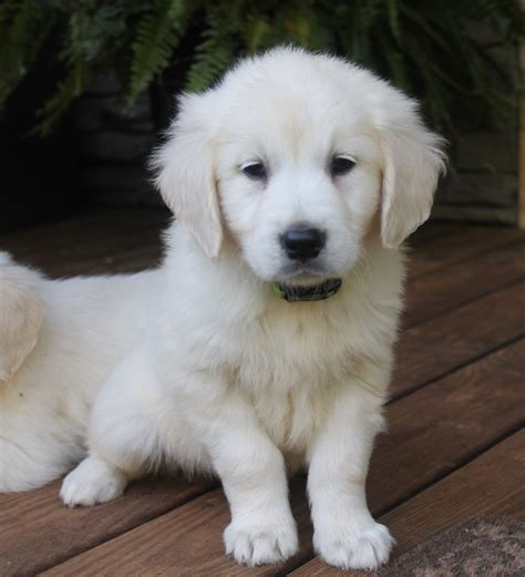 golden retriever breeders in sc puppies for sale golden retriever golden retrievers