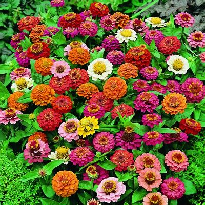 fiori per bordure basse zinnia nana da bordura thumbelina