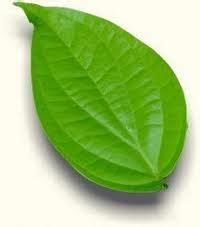 Daun Sirih Wulung Segar Piper Betle daun sirih bagi kesehatan teukuuzer