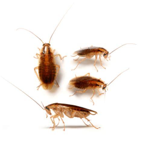 Kakerlake Klein by Envirotech Exterminating 918 282 7621 Pest