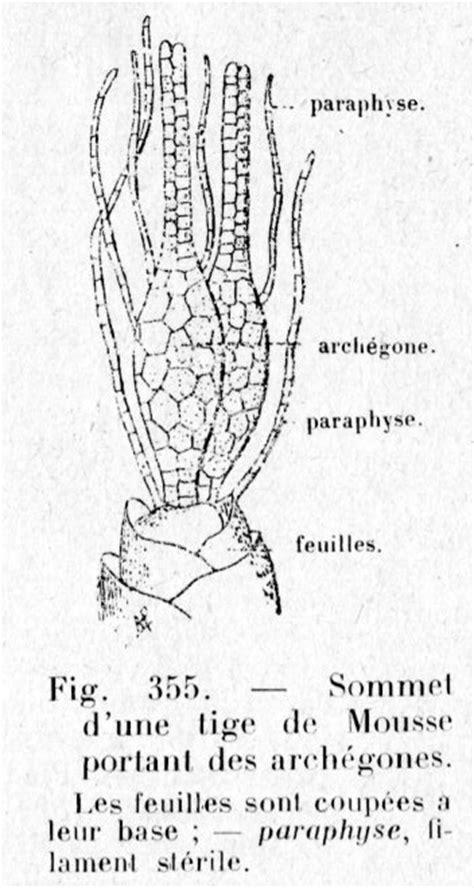 paraphyse - Dictionnaire des Sciences Animales